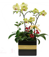Green Apple orchid. small potted